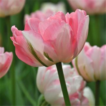 I-Grande-7455-tulipe-double-tardive-finola.net