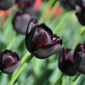 I-Grande-9397-tulipe-queen-of-night.net